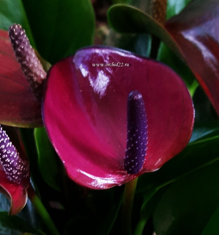 Anthurium Princess Amalia Purple (деленка без цветов)