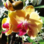 Орхидея Phalaenopsis Golden Beauty