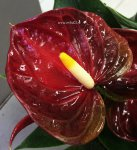 Anthurium  Arion Brown