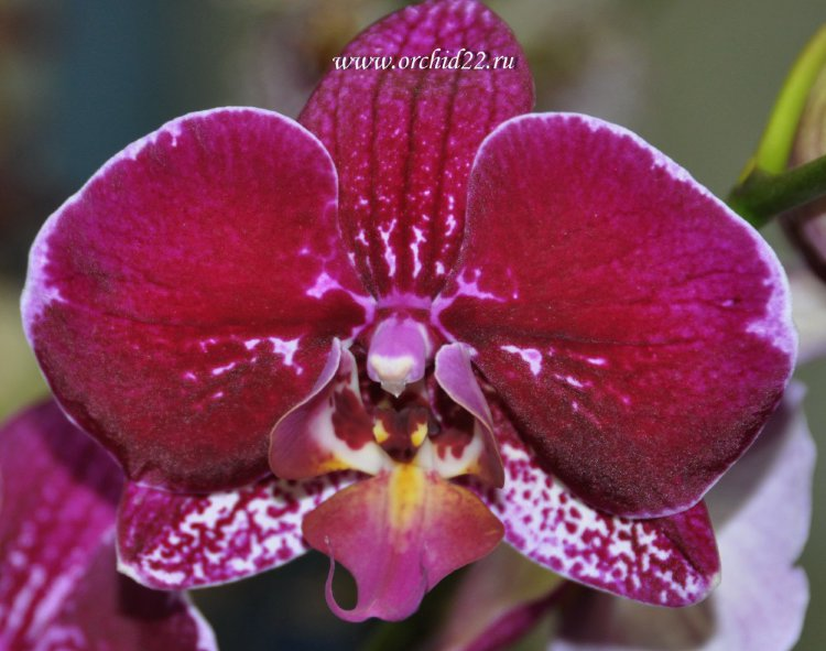 Орхидея Phalaenopsis Good Hope