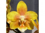Орхидея Phalaenopsis Yellow Chocolate (отцвел)