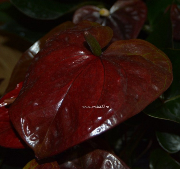 Anthurium Chocolate Love