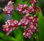 Орхидея Oncidium Twinkle Red Fantasy (отцвел)
