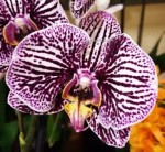 Орхидея Phalaenopsis Black Stripes