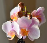 Орхидея Phalaenopsis Brother Little Amaglad, multiflora
