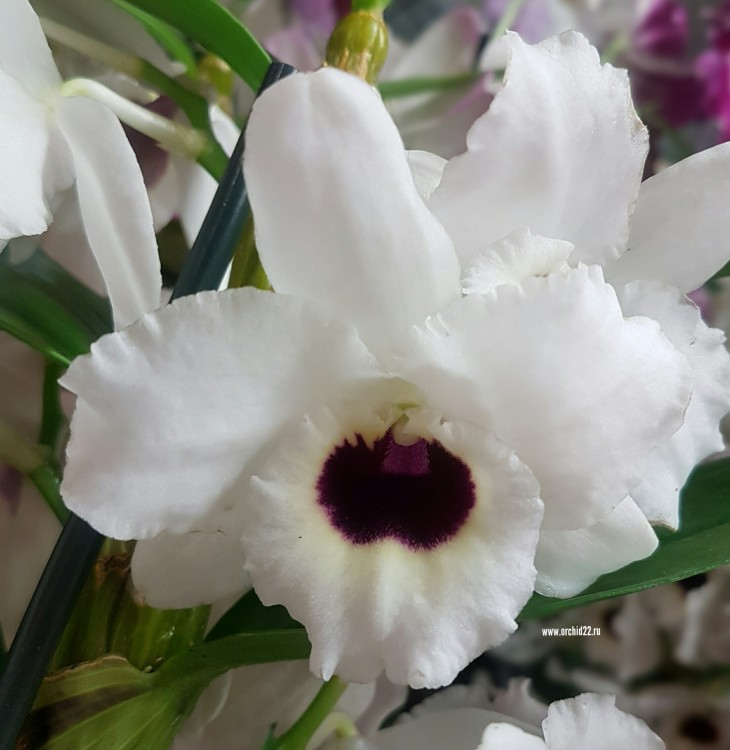 Орхидея Dendrobium nobile 'Dark Eye'