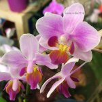 Орхидея Phalaenopsis, mini (отцвёл)