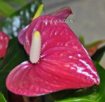 Anthurium Violet Heart