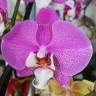 Орхидея Phalaenopsis Los Angeles (отцвел)