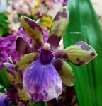 Орхидея Zygopetalum Rhein Angel First One