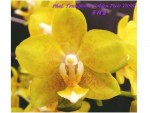 Орхидея Phalaenopsis Young Home Golden Pixie (еще не цвел)