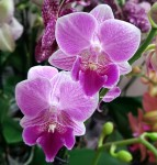Орхидея Phalaenopsis Big Lip, multiflora