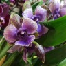 Орхидея Zygopetalum Rhein Angel First One (отцвел)
