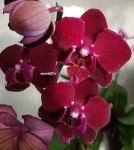 Орхидея Phalaenopsis Happy Angel (отцвел)
