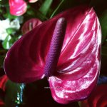 Anthurium Purple Heart