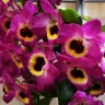 Орхидея Dendrobium nobile Red Emperor
