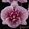 Орхидея Phalaenopsis Lioulin Lovely Lip (еще не цвел)