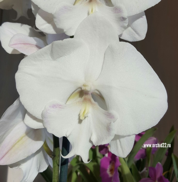 Орхидея Phalaenopsis Big Lip (отцвел)