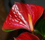 Anthurium Adios Red
