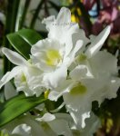 Орхидея Dendrobium Spring Dream Apollon (отцвёл, деленка)