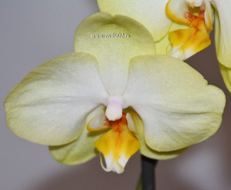 Орхидея Phalaenopsis  Golden Jaguar (отцвел)