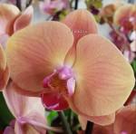Персиковая орхидея фото
