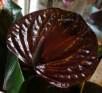 Anthurium Black Beauty