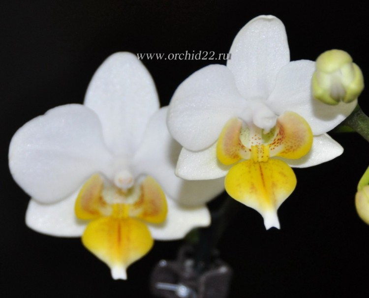 Орхидея Phalaenopsis Lius Fantasy, mini (отцвел)