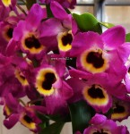 Орхидея Dendrobium nobile Red Emperor (отцвёл)