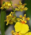 Орхидея Oncidium Sweet Sugar (отцвел)