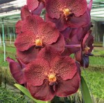 Орхидея Vanda Dark Brown (сеянцы)