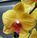 Орхидея Phalaenopsis Yellow with Red Lip