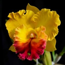 Орхидея Cattleya Yellow with Red Lip (сеянцы)