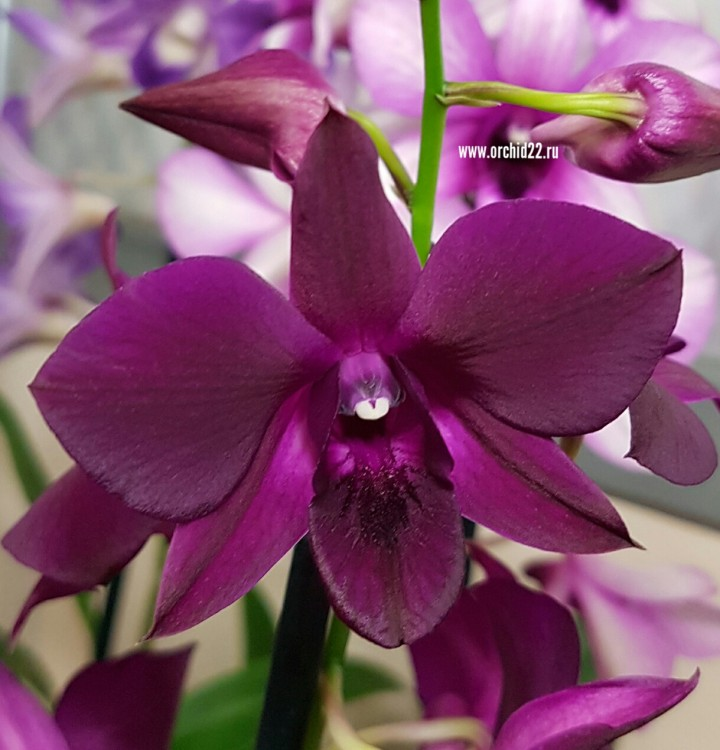 Орхидея Dendrobium Thai Red (отцвел, деленка)