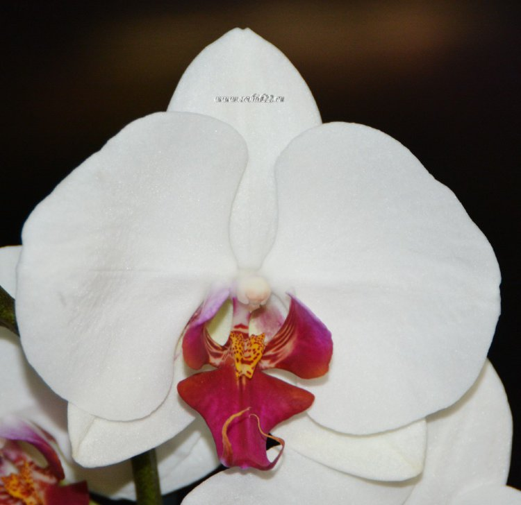 Орхидея Phalaenopsis Red Lip (отцвёл)