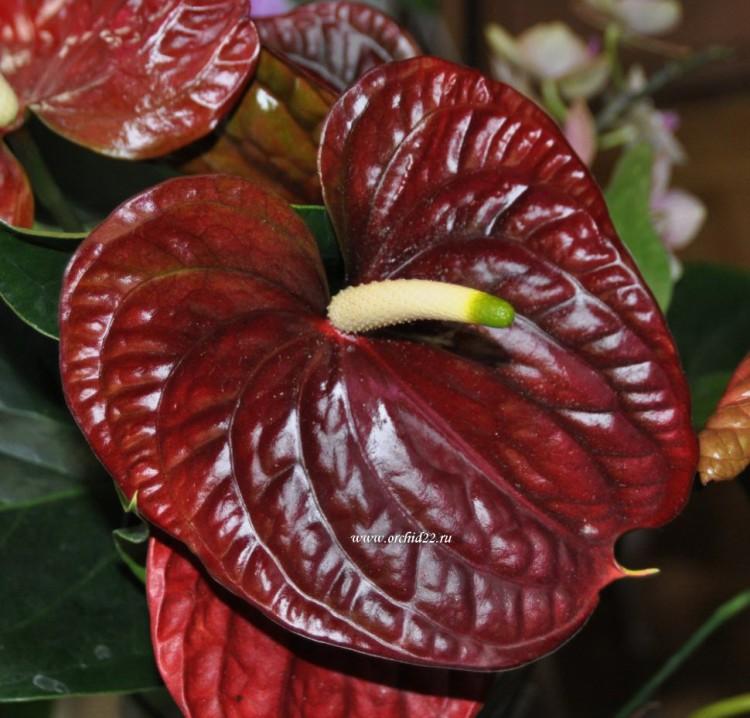 Виды орхидей  фото и названия фаленопсиса дендробиума