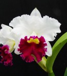Орхидея Cattleya White with Red lip (сеянец)