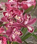 Орхидея Cymbidium Rich Wealth 'Red Ruby', peloric (еще не цвел)