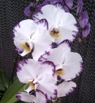 Орхидея Phalaenopsis Black Lightning Flash (еще не цвёл)