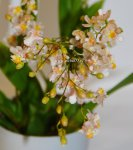 Орхидея Oncidium Twinkle Romantic Fantasy (отцвел)