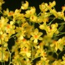 Орхидея Oncidium Twinkle Yellow Fantasy (отцвел)
