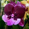 Орхидея Phalaenopsis Hot Kiss (Big Lip)