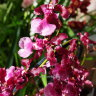 Орхидея Oncidium Sharry Baby 'Red Fantasy'