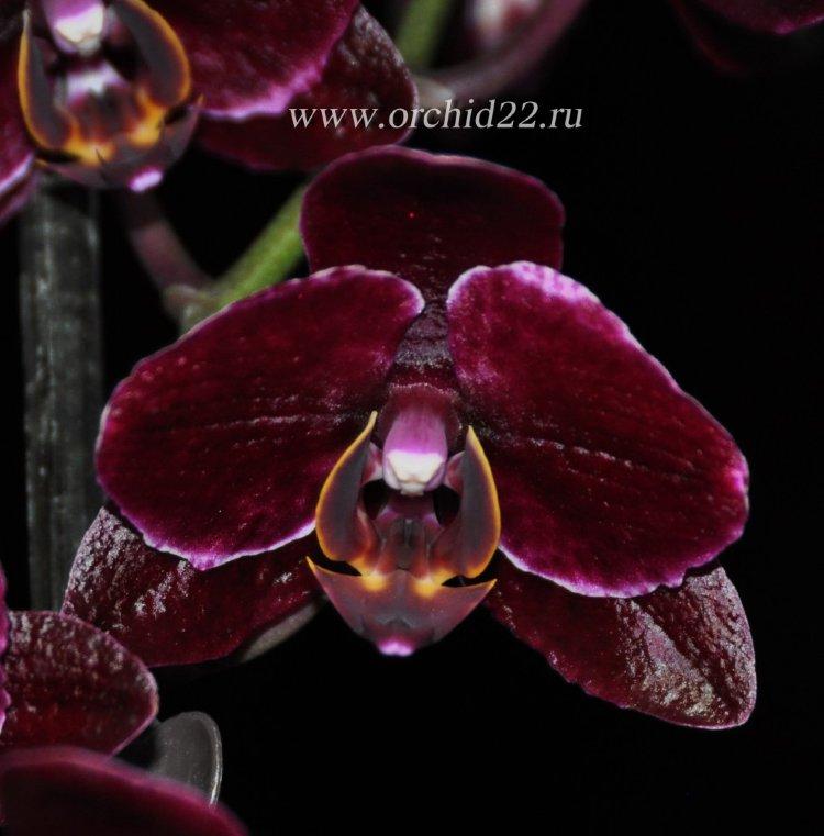 falenopsis-black-jack