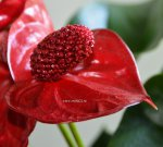 Anthurium Sierra Magic